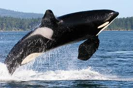 Orca Breaching for Cruise Photo